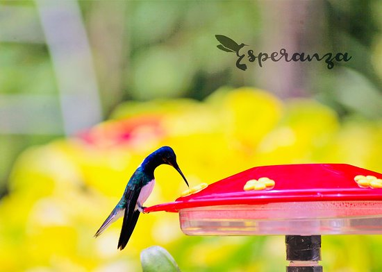 St. Ann's, Trinidad: Rare pic of a hummingbird drinking it's sugar water