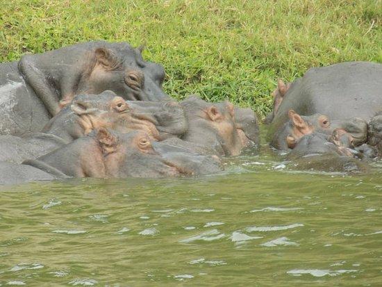 Hippos in Kazinga Channel Queen Elizabeth National Park