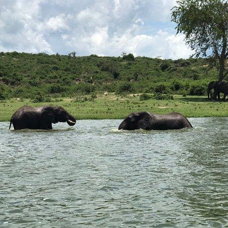 "Queen Elizabeth National Park, Ουγκάντα: African Savannah Elephants. [Photo series] #elephants  reflection. #sundowners #bestvacations #safarii #travelling #visituganda🇺🇬 #africatravel #photograph #travelblog #travelbloggers #vacationgoals #safarilive #visituganda #africansafaris #travellers #travels #summerday @travoguide_recruit @tripadvisor @natgeoadventure @natgeo.photography #elephantlovers #elephant #protectelephants #AfricanSafaris #elephantworld #wildlifephotography ""Ask Me About Uganda"" #BrianSafariGuide"