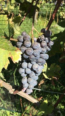 Barolo Wine Tour desde Milán: Grapes ready to harvest