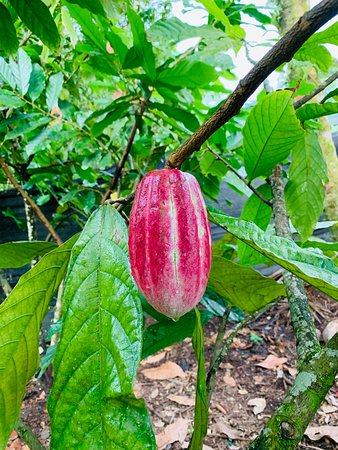 Chocolate Experience in a Real Factory: we got a chance to break  open and taste the fruit
