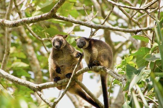 Yungaburra, Austrália: Lumholtz's Tree Kangaroo