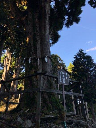 日蓮上人御手植えの杉