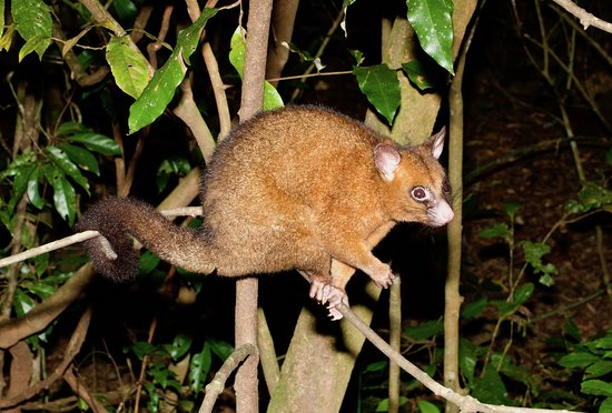 Tarzali, Australië: A male coppery brushtail possum
