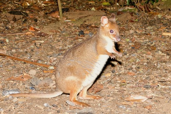 Tarzali, Australië: The kick-boxing red-legged pademelon!