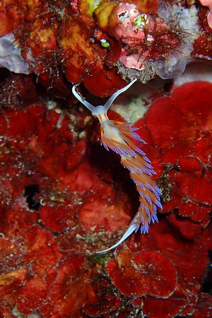 Cratena peregrina nudibranch