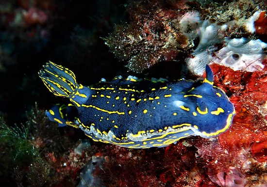 Felimare picta nudibranch