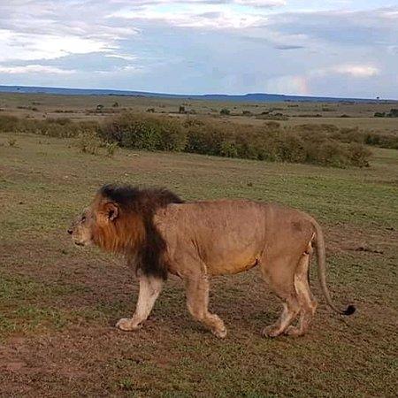 Cagar Alam Masai Mara, Kenya: Keekorok Maasai Mara game excursion,www.nixosafaris.co.ke