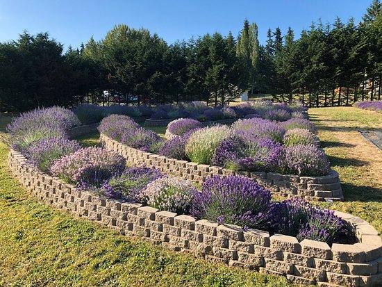 Fleurish Lavender