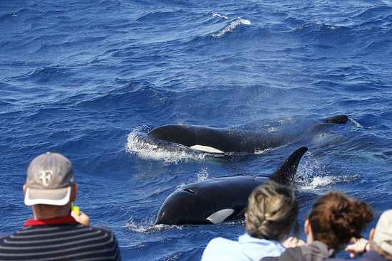 Bremer Canyon Killer Whale (Orca) Expedition