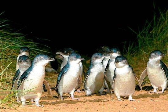 Phillip Island Penguins Private Tour