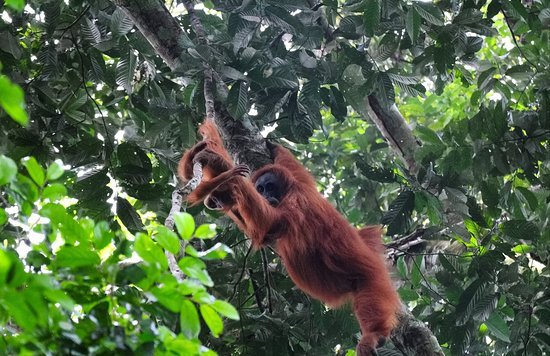 We are travel life Sumatra adventure tour trekking operator situated in Bukit Lawang North Sumatra. We operate jungle adventures, mountain trekking and adventure tourism package for visitors to experience good tour and treks.