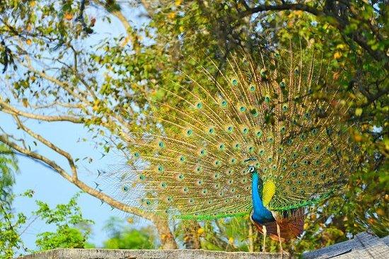 Safari en Wilpattu con picnic y...