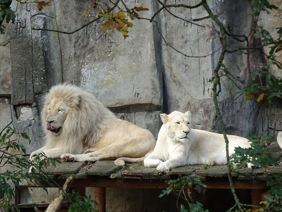 The zoo had a good variety of animals, including 4 African lions.