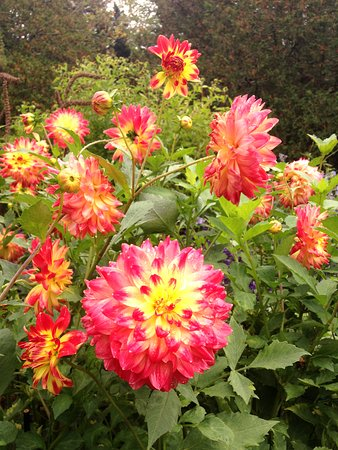 Dahlias in October at Thuya Gardens in Bar Harbor - about 45 min drive from campground