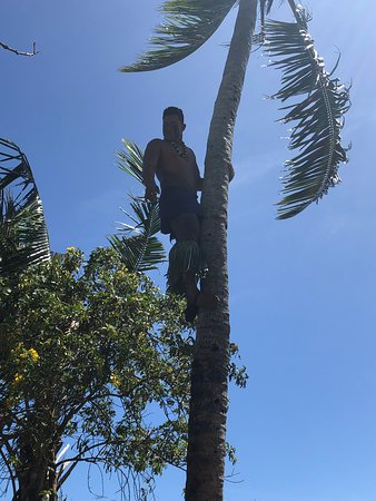 Demonstration of climbing a coconut palm