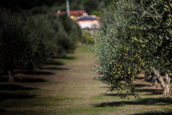Castelfidardo, Italia: L'uliveto di Olio Poldo