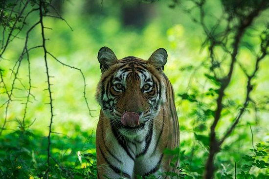 Indian nationals: Ranthambore wildlife safari online booking W/ Optional Trips: Indian Visitors: Ranthambore wildlife safari online booking W/ Optional Trips