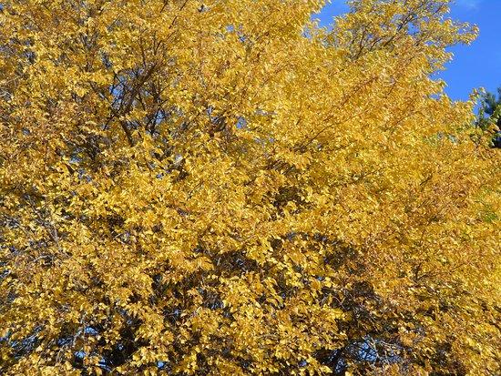 Ribnica na Pohorje, Словения: Golden autumn tree in Ribnica na Pohorju