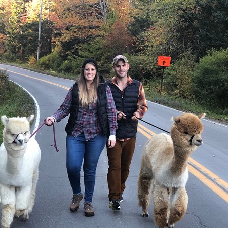 Newagen, ME: Alpaca Treks are a fun way to get up and close to one of our alpacas and see the beautiful coastal island! Book on our website.Call with any questions!