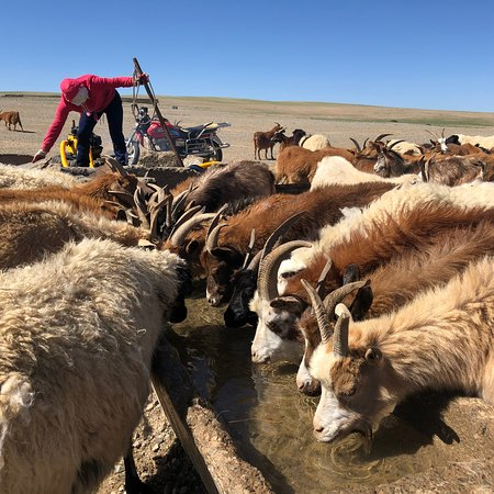 A herder watering her sheep and goats