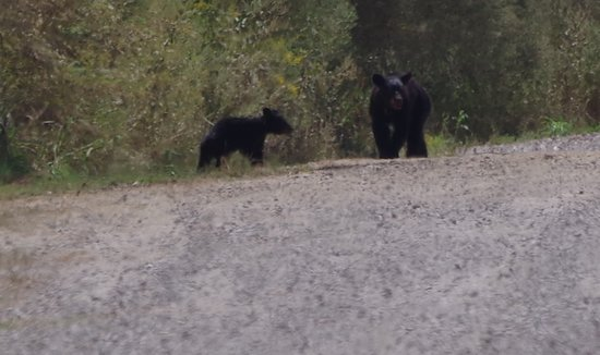 Tallulah, LA: A mother and cub encountered on the road to Indian Lake. Keep your distance from the bears and you can watch them for longer.