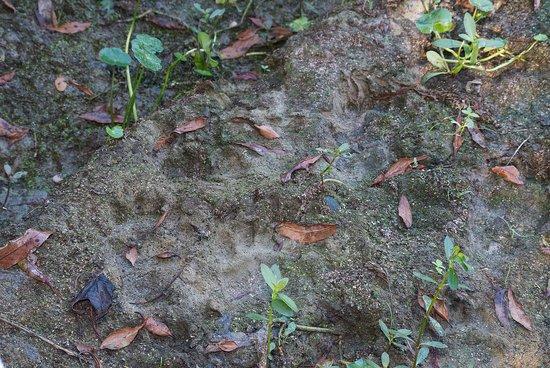 Tallulah, LA: Tracks of Louisiana Black Bear Ursus americanus luteolus beside Rainey Lake.