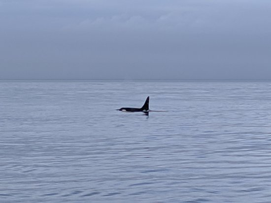 Victoria Whale Watch Tour: Very exciting view of an orca!