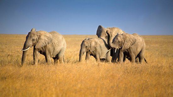 A herd of elephants during dry season in Ngorongoro crater
