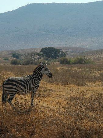 Zèbre de Ngorongoro