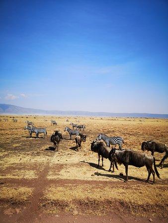 Zèbres et gnous de Ngorongoro