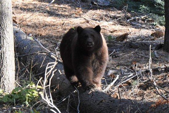 Yosemite National Park, CA: a baribal in Yosemite NP, US