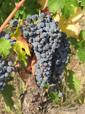 These grapes make the best wine in Spain.