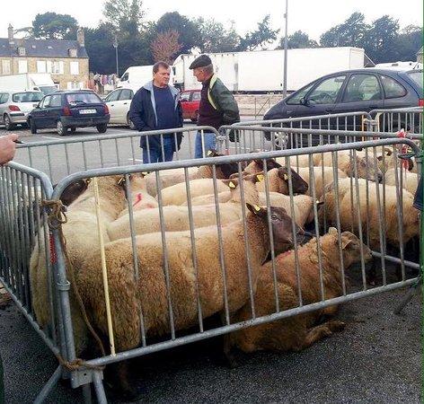 Benoitville, Frankrike: Sheep for sale