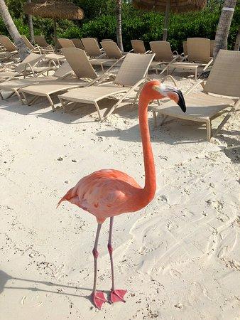 Flamingo Beach, Renaissance