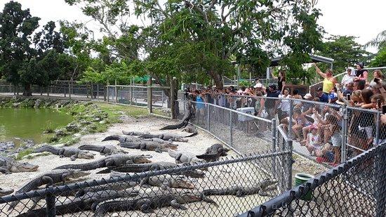 Florida Everglades Airboat Ride and Reptile Show: allevamento di alligatori