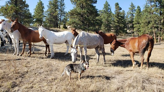 Roundup, MT: Some of our mule herd