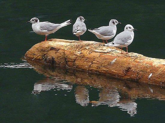 Mew Gulls drift past the Inn on a rising tide.