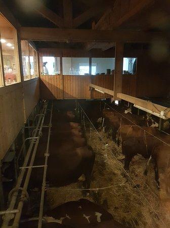 Dans la salle d'à coté, les vaches, des vraies vaches lol