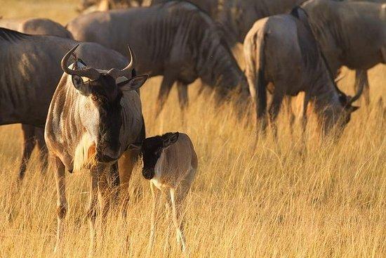 Gnukalbensaison Februar & März | 8 Tage: Wildebeest Calving Season Feb & March | 8 Days