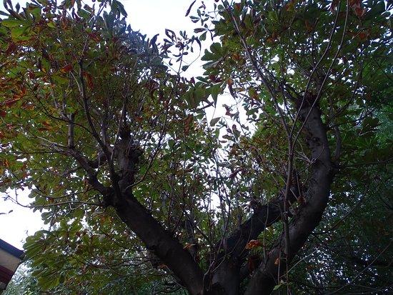 San Valentino in Abruzzo Citeriore, Italië: L'unico albero di castagne che siamo riusciti a trovare, privo di frutti
