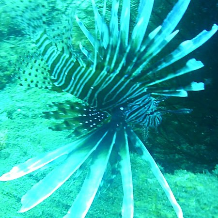 Titan Dive Center: Lionfish.  Come and know more about those spices