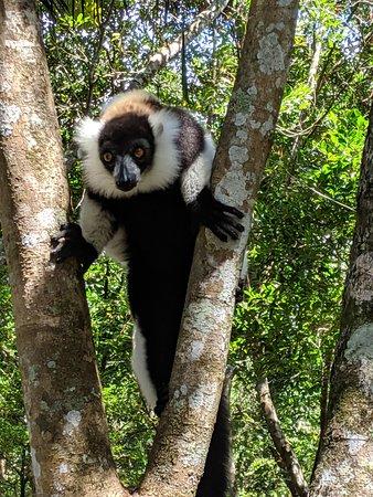Madagascar Tripping: Black and White Ruff lemur