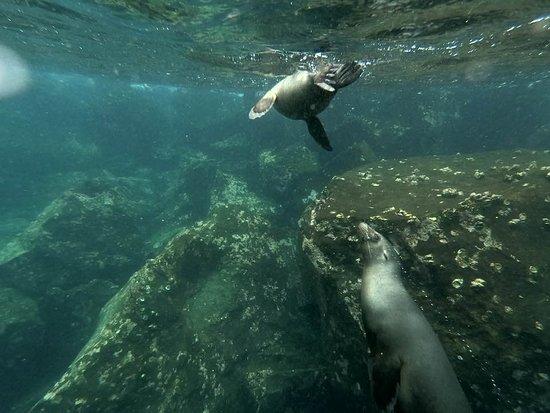 Santa Fe Island, Ecuador: Nadando con lobos marinos. Mama con su cría.