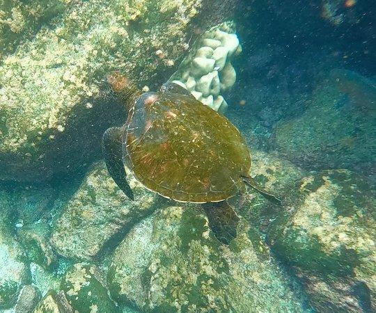 Santa Fe Island, Ecuador: Una tortuga verde el Pacífico.