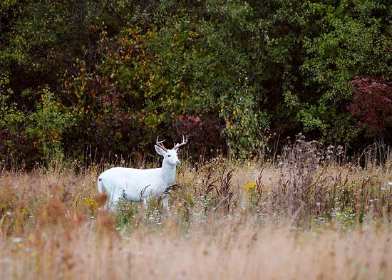 Lagos Finger, Estado de Nueva York: This week's #FridaysFinds comes from photographer @bvishneski on Instagram who toured here a few weeks back and captured this handsome guy in the changing autumn foliage! Beautiful shot Bob, thanks for sharing! . #senecawhitedeer #senecaarmydepot #asseenontour #flxfall #takethetour