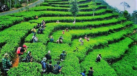 Nglinggo Tea Plantation