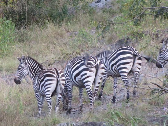Zebras in lake Mburo national park in western Uganda. This park a home to a number of wildlife and birds.