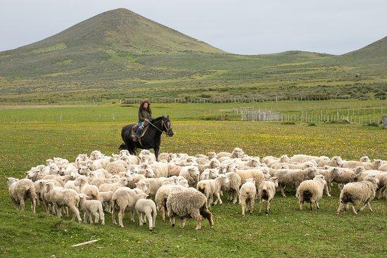Tierra del Fuego, Chile: Vivir la experiencia de arrear un piño de ovejas en Estancia Kaitien