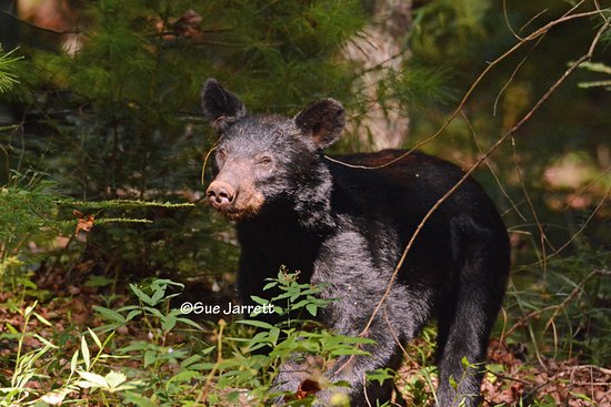 One of the bears in the Smoky Mountain National Park